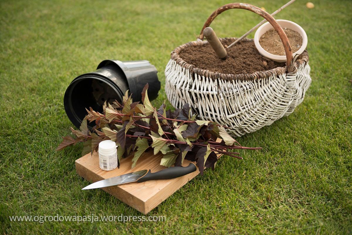 Rozmnażanie krzewów przez sadzonki półzdrewniałe. Pęcherznica
