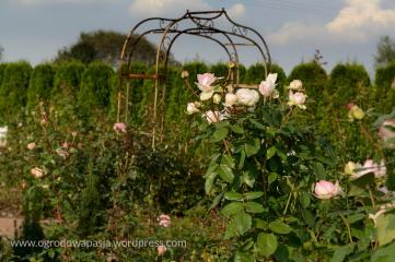 Róże i kute bramki