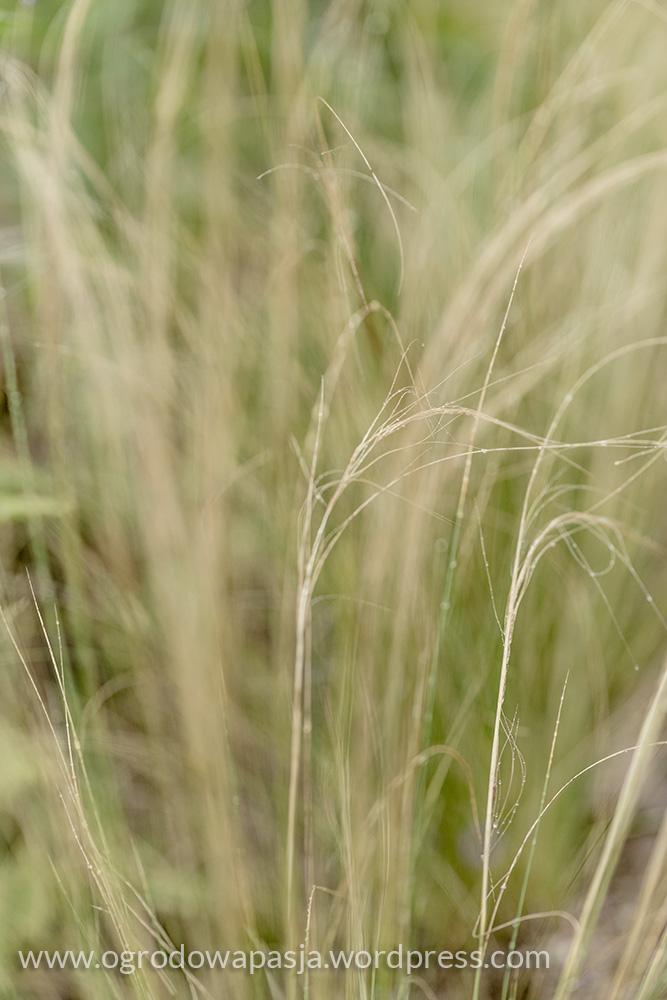 Stipa tenuissima 'PONY TAILS'