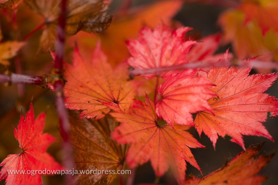 Klon Shirasawy - Acer shirasawanum 'Aureum'