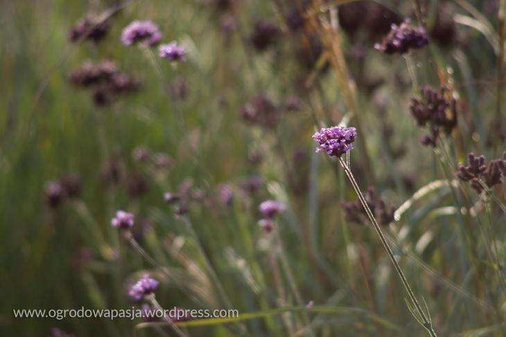 Werbena patagońska. Niestety kwiaty już takie malutkie, po regularnych, ładnych baldachach nie ma śladu