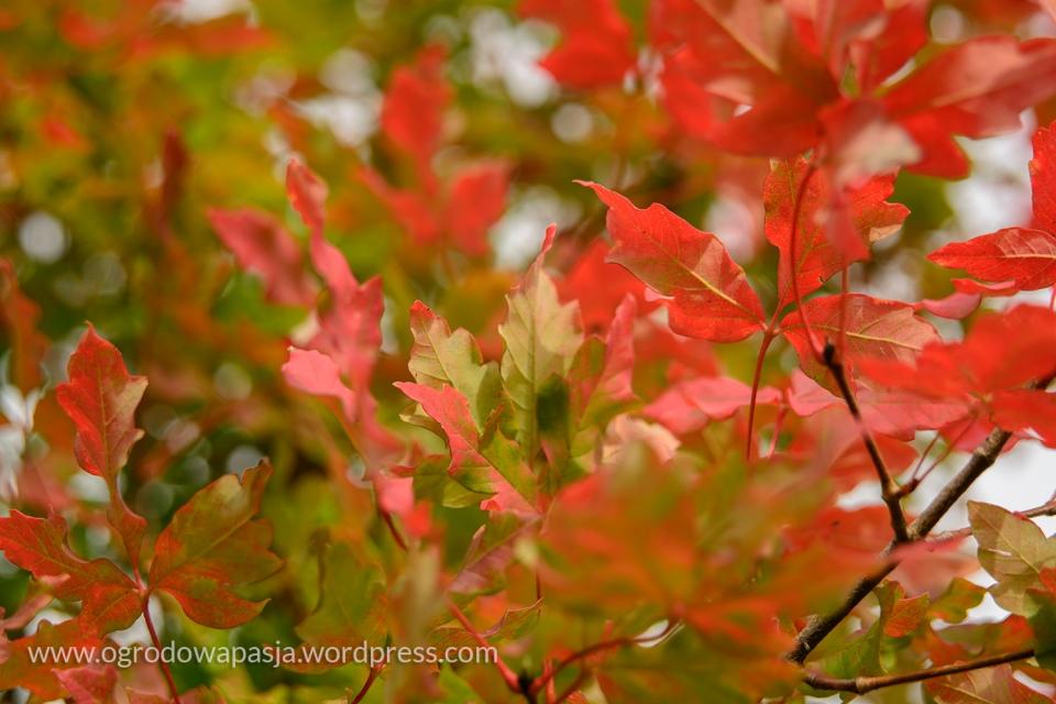 Klon strzępiastokory- liście