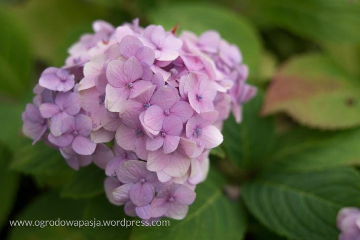 Hortensja ogrodowa. Kule mają wielkość może kobiecej pięści- nie to co jej poprzedniczki latem, których kwiaty można było trzymać na dwóch dłoniach