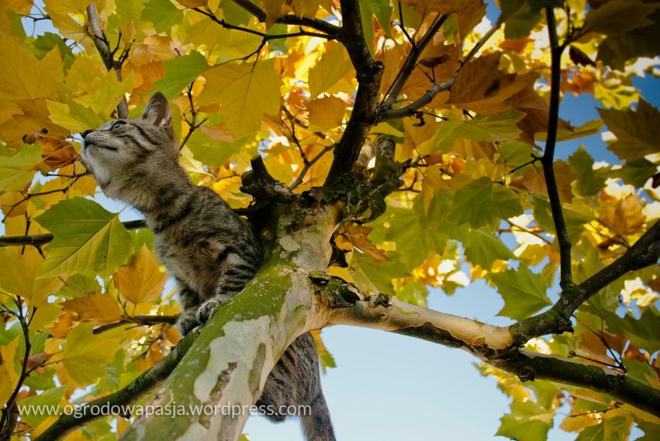 Platan klonolistny. Jedyne zdjęcie nie z tego sezonu- mój tygrys już dużo większy
