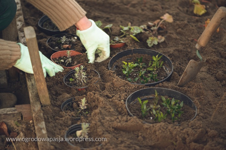 Wszystkie sadzonki dołuję w ogrodzie razem z doniczkami