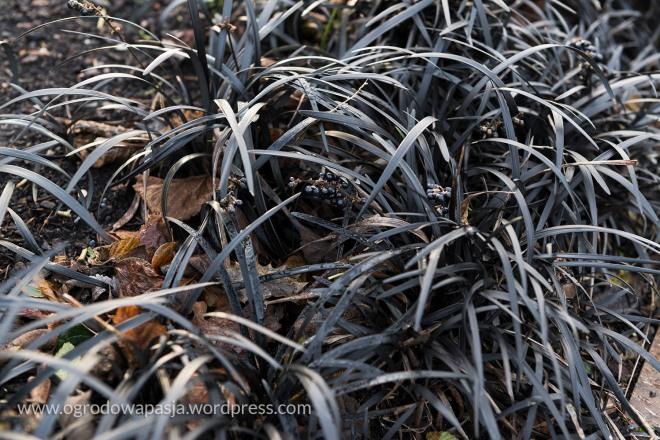 Konwalnik (Ophiopogon planiscapus)