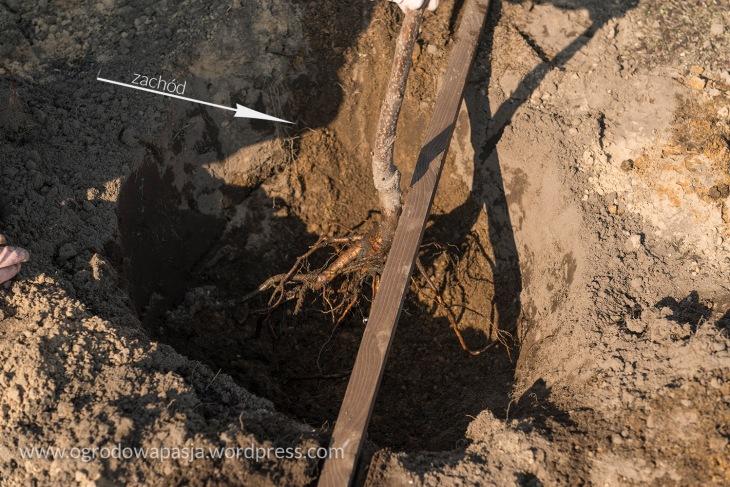 sadzenie_drzewek_owocowych002b