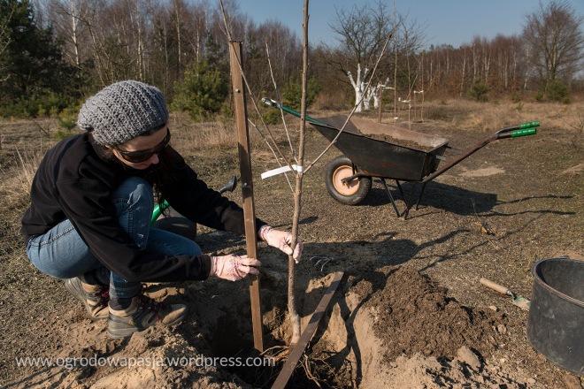 sadzenie_drzewek_owocowych005
