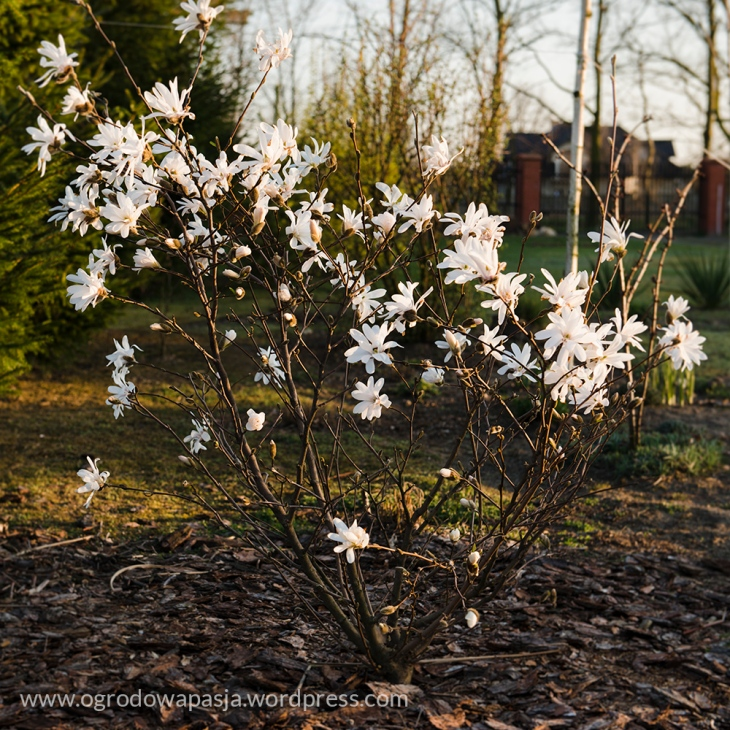 krzew magnolii