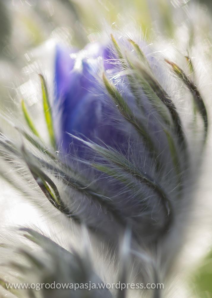Jedwabiste owłosienie chroni sasankę przed niskimi temperaturami