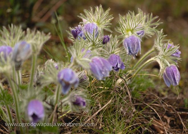 W czasie deszczu lub mrozu kwitnące sasanki skulają swe łebki