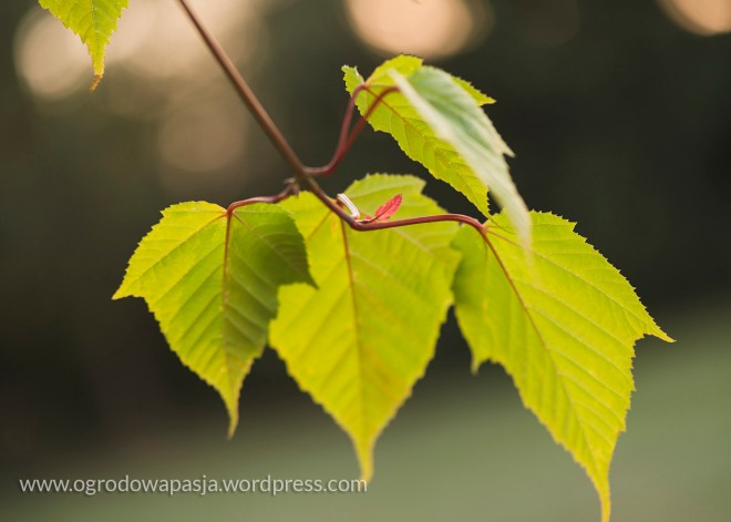 Czerwone unerwienie liścia