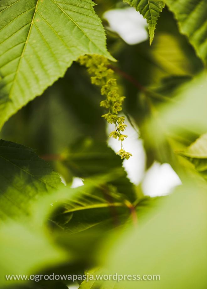 Kwiaty klonu cienkoszypułkowego- trudno je dostrzec ze względu na barwę