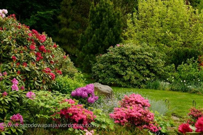 rododendron_003