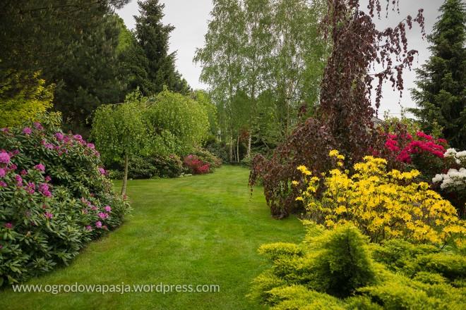 Po prawo azalia pontyjska  po lewej stronie Rhododendron  'Roseum Elegans'