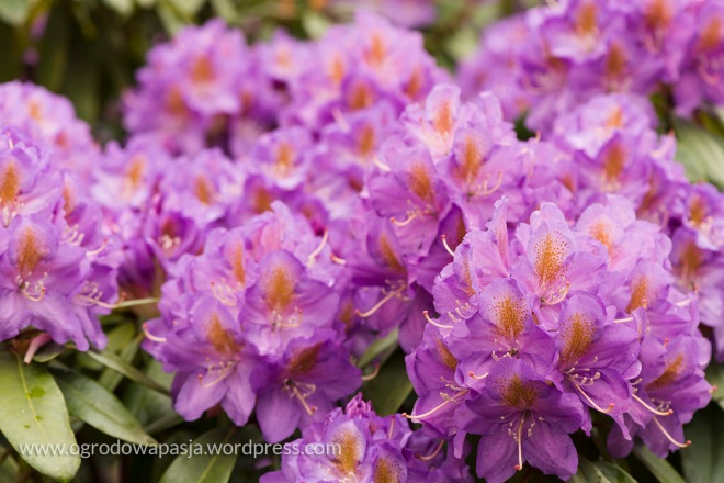 rododendron_010