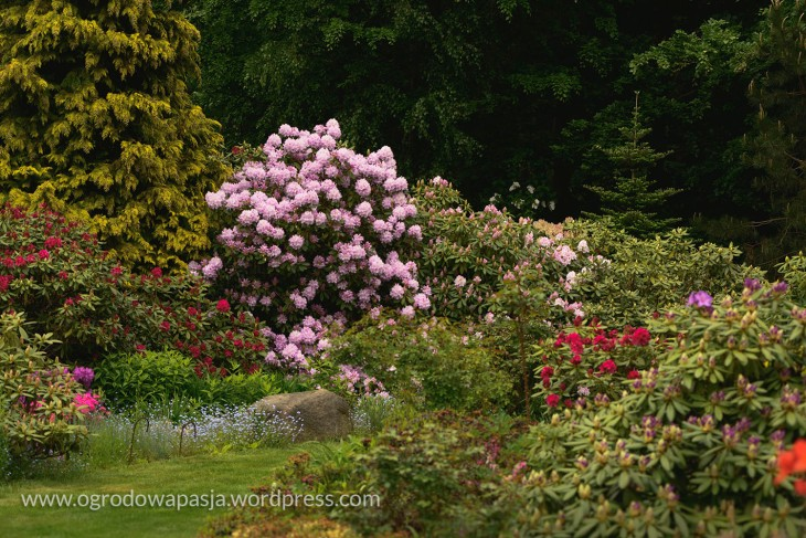rododendron_012