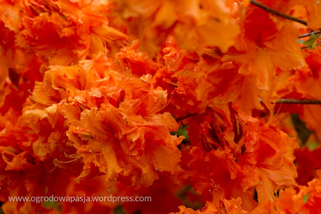 rododendron_014