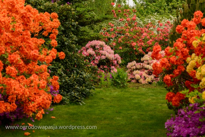 rododendron_015