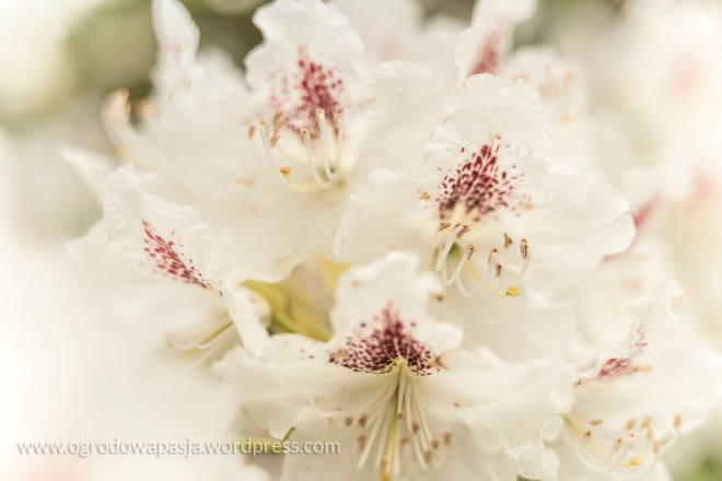 rododendron_018