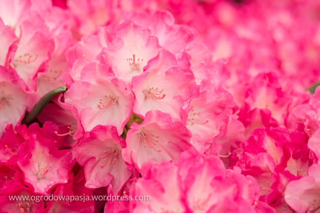 Rhododendron 'Ann Lindsay'