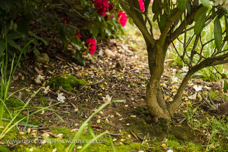rododendron_023