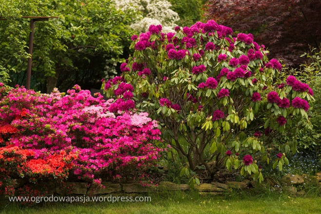 rododendron_027