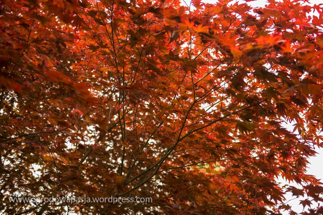 rododendron_030