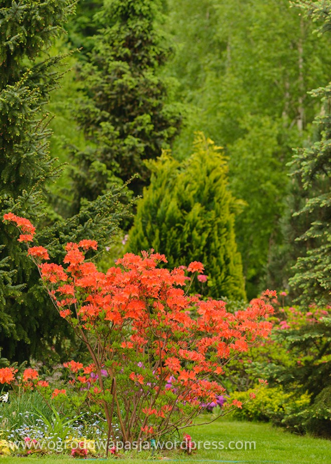 rododendron_033