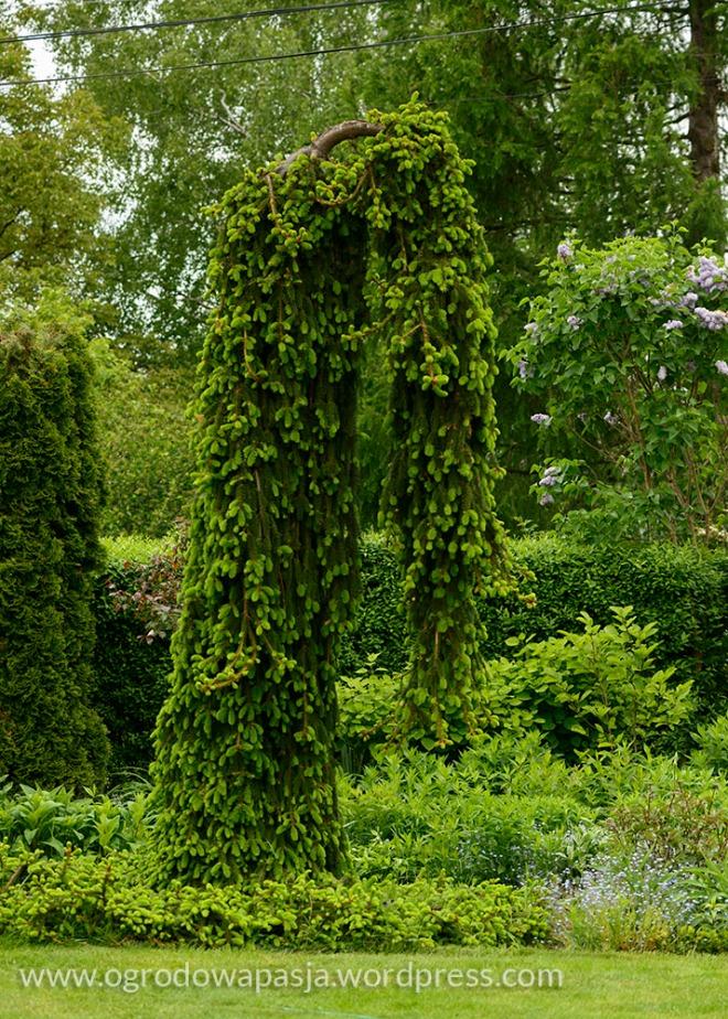 Świerk pospolity 'Inversa' ( Picea abies 'Inversa' )