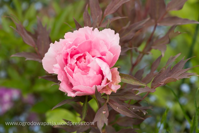 rododendron_036