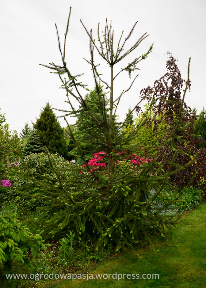 rododendron_037