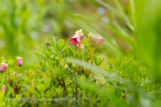 różanecznik krzywozalążniowy (campylogynum Myrtilloides)