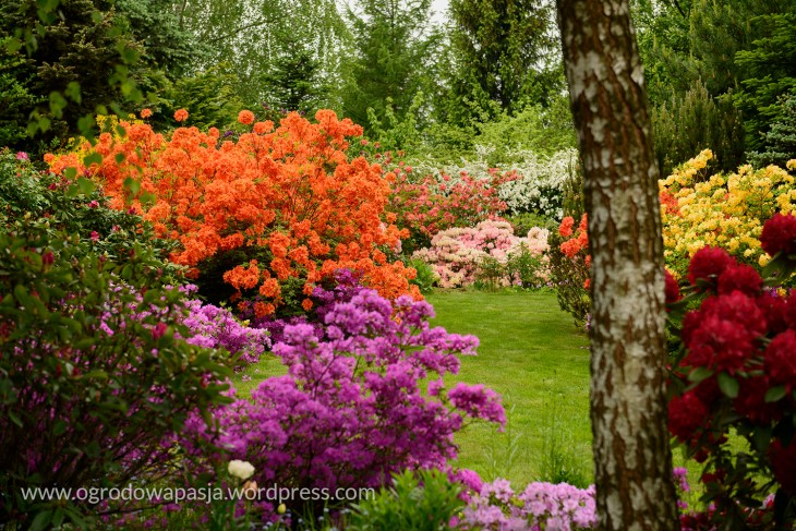 rododendron_039