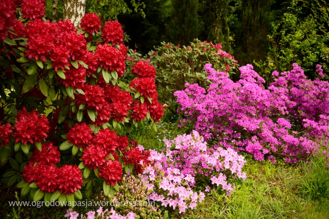 Ren czerwony różanecznik to 'Francesca'. Jasnoróżowa azalia japońska którą jest podsadzony zachwyciła mnie w zbliżeniu