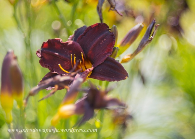 Hemerocallis 'Black Mountain'