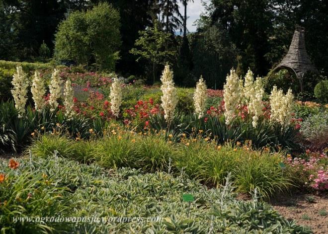 Juka karolińska ( Yucca filamentosa) zwana także kręplą albo szpilecznicą