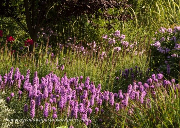 liatra klosowa- jedna z moich ulubionych roślin