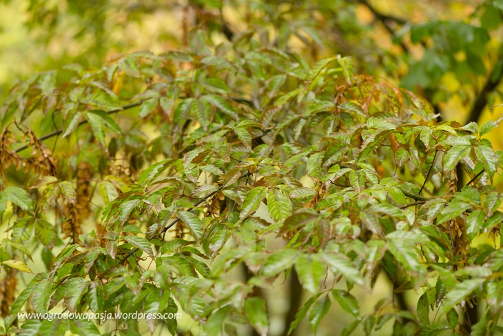 Klon Henry'ego (Acer henryi)