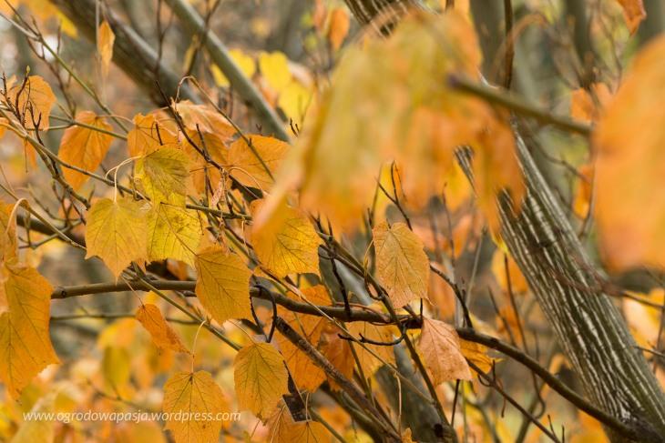 Klon zielonokory (Acer tegmentosum). Do kupienia na terenie Arboretum za zupełnie małe pieniądze.