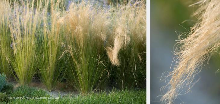 nasiona ostnicy
