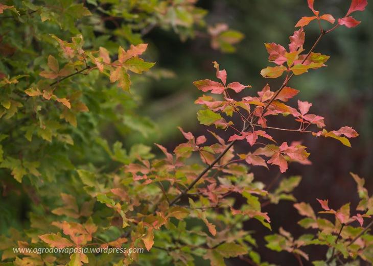 liście klon strzępiastokory