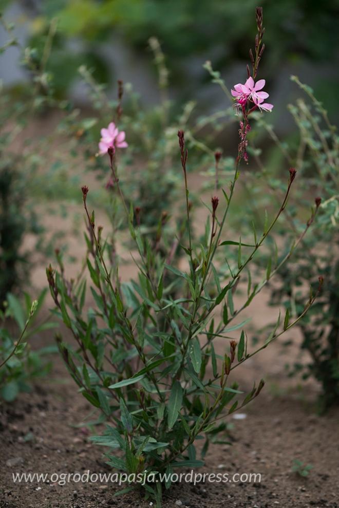 15 czerwca.  Sadzonka przycięta jeden raz ma już pierwsze kwiaty od ok. tygodnia
