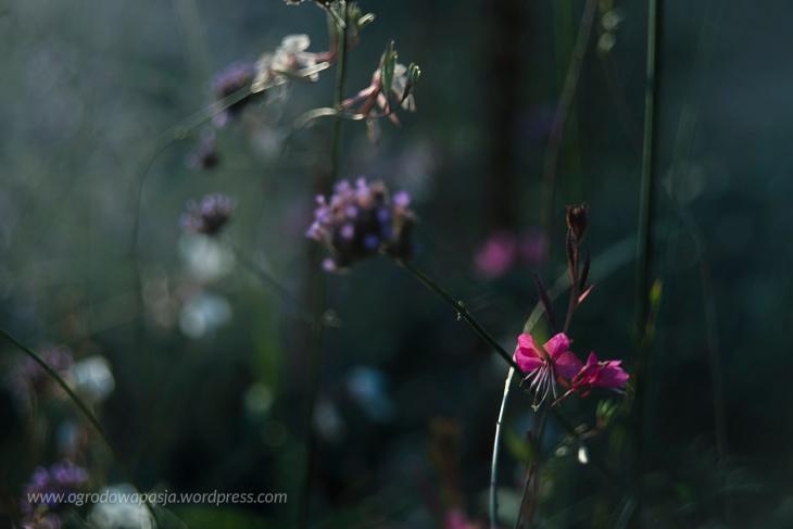 kwiaty o zmroku gaura i werbena