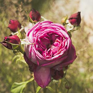 cięcie róż