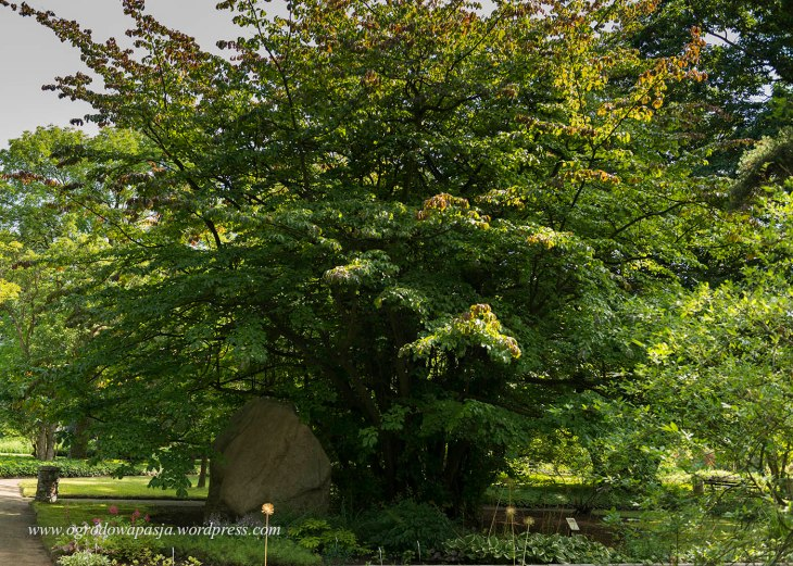 parocja perska (Parrotia persica)