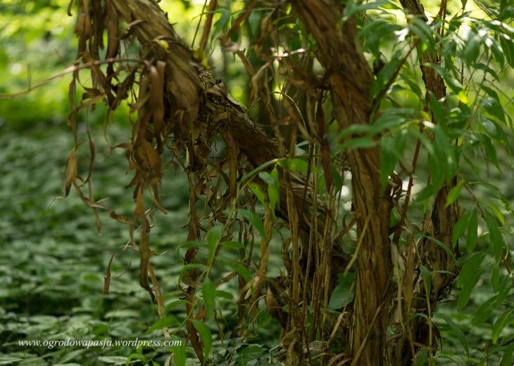 Prinsepia chińska (Prinsepia sinensis)
