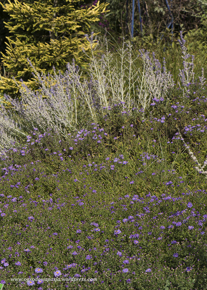 Niskie, fioletowe astry z perovskią łobodolistną