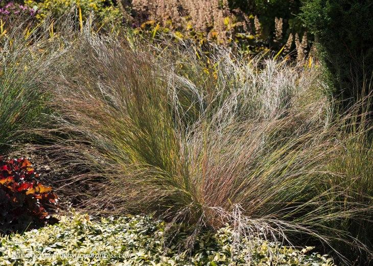 Palczatka miotlasta (Schizachyrium scoparium)