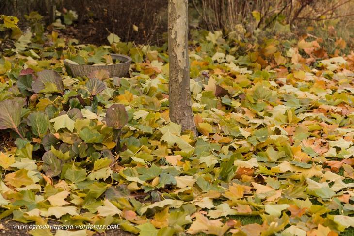 liście platana